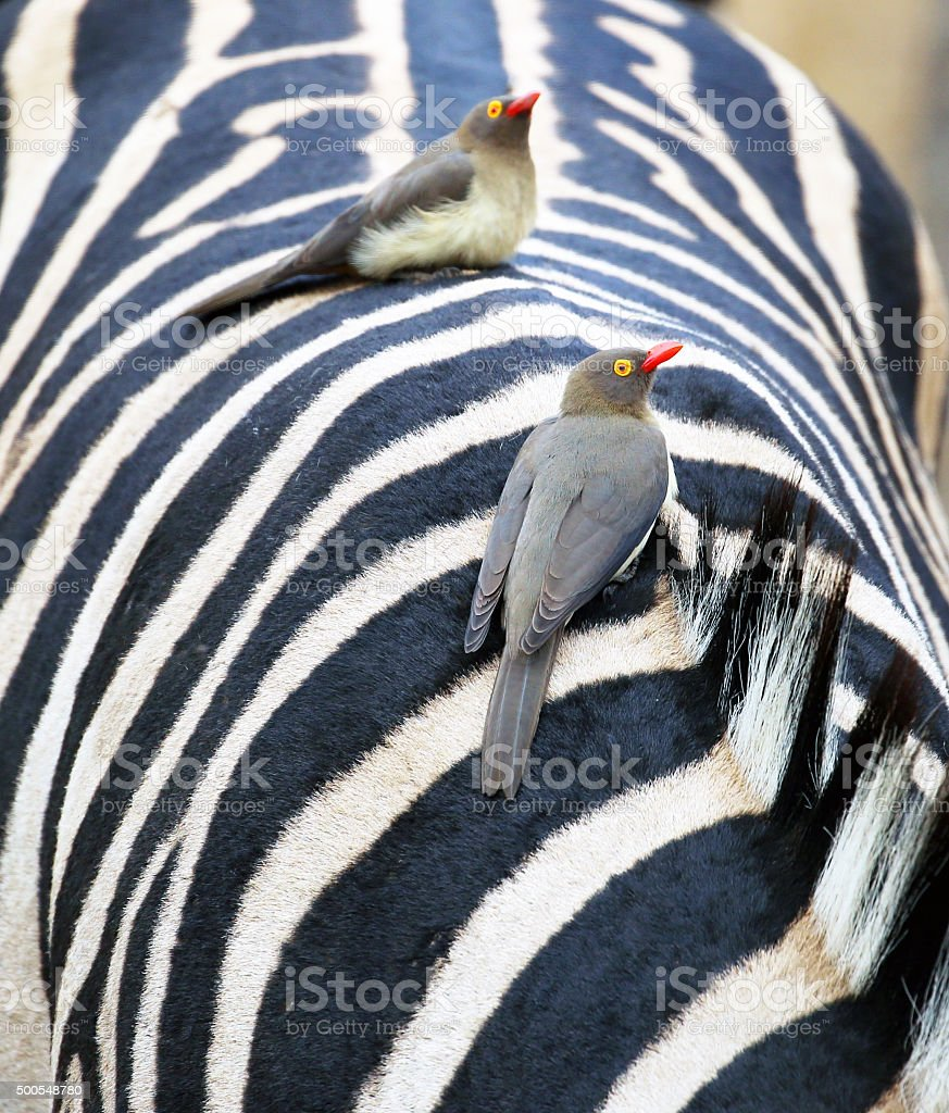South Africa: Red-Billed Oxpeckers on a Zebra (Kruger National Park) stock photo