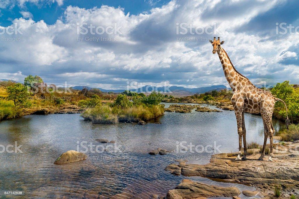 South africa river giraffe stock photo