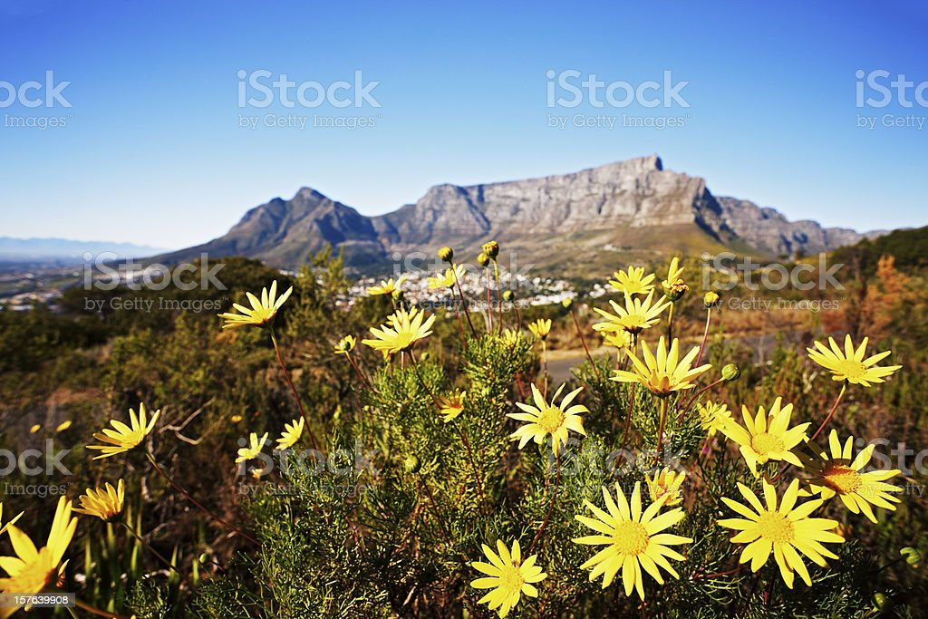South Africa: Table Mountain with wild daisies in foreground stock photo