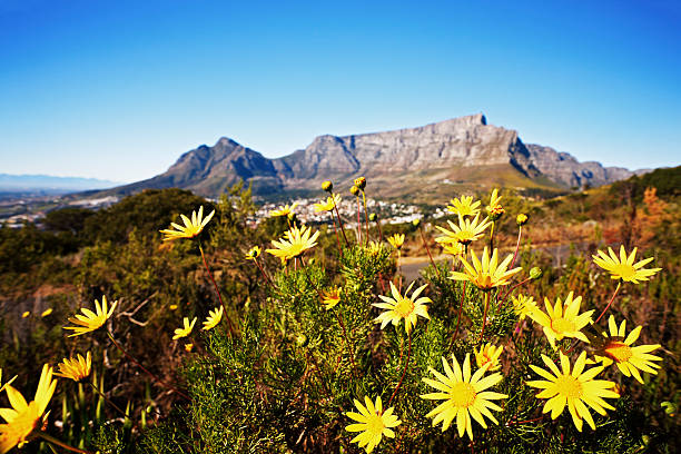 south africa: table mountain with wild daisies in foreground - cape peninsula stock pictures, royalty-free photos & images