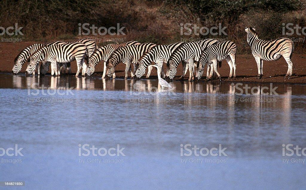 South Africa, Zebra drinking at waterhole. stock photo