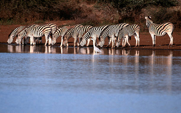 South Africa, Zebra drinking at waterhole. South Africa, Limpopo and Mpumalanga provinces, Kruger National Park, Zebra drinking at waterhole. transvaal province stock pictures, royalty-free photos & images