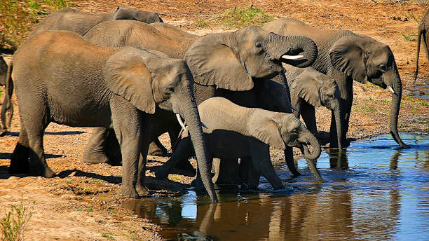 South African Elephant Family at the Waterhole South African Elephant Family Drinking Together at the Waterhole african elephant stock pictures, royalty-free photos & images