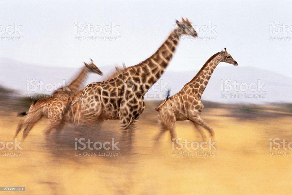 Girafes en Afrique du sud (giraffa camelopardalis giraffa) running photo libre de droits