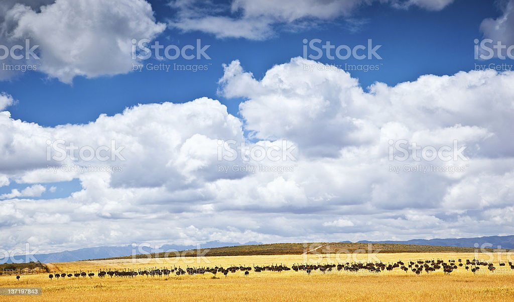 South African ostrich royalty-free stock photo