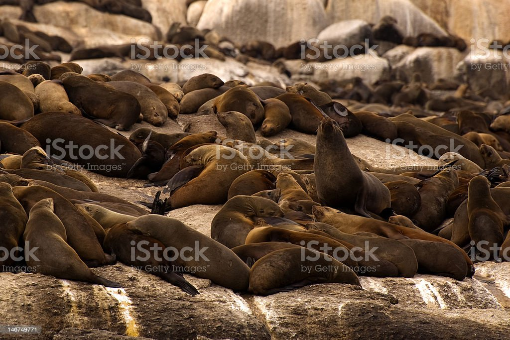 South African Sea Lions royalty-free stock photo