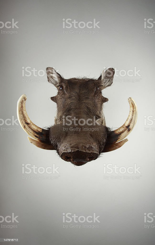 South African wild boar stock photo