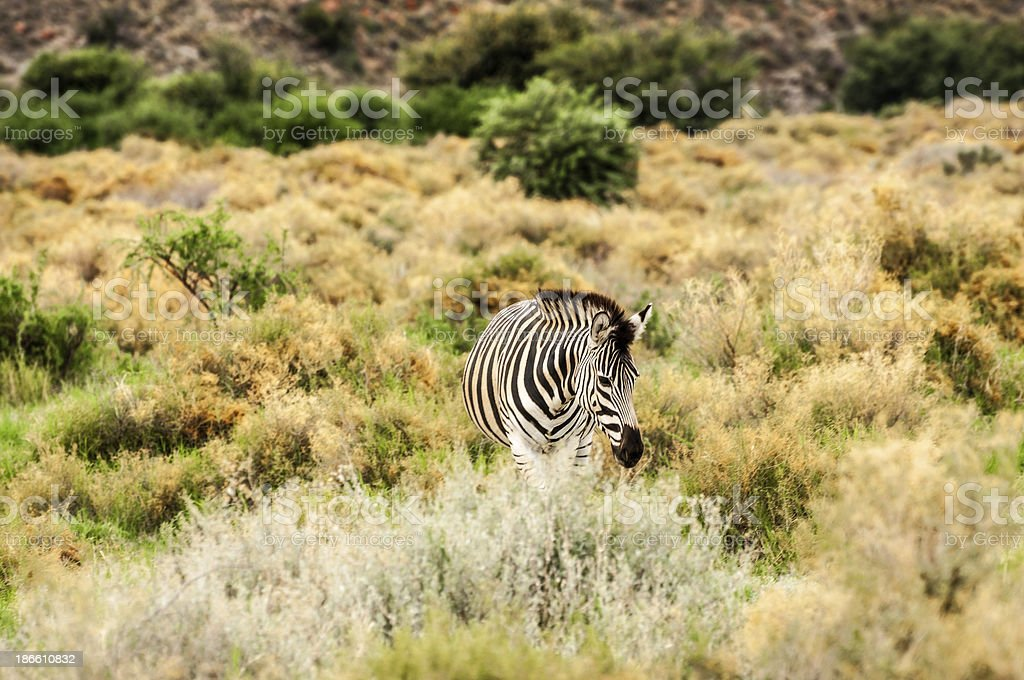 South African Zebra royalty-free stock photo