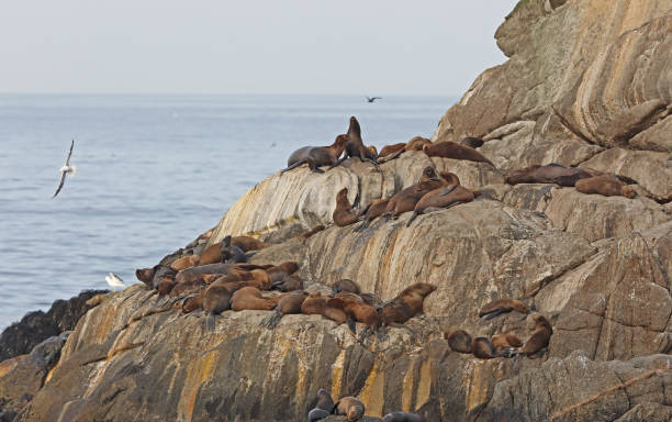 South Amercan Sea Lion South American Sea Lion (Otaria byronia)  group resting on rocky island