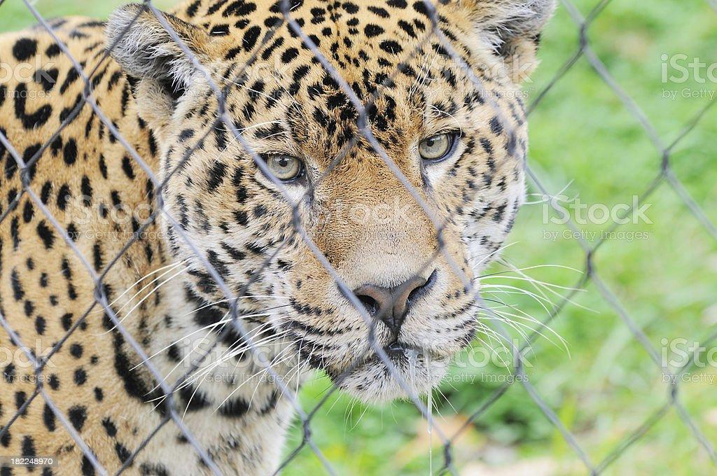 South American Amazônia Jaguar Panthera Onca Olhando Para A Câmera Foto  Royalty Free