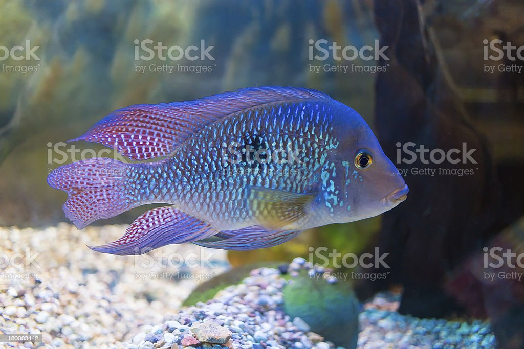 South American cichlid stock photo