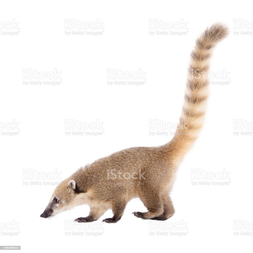 South American coati, Nasua nasua, baby on white stock photo