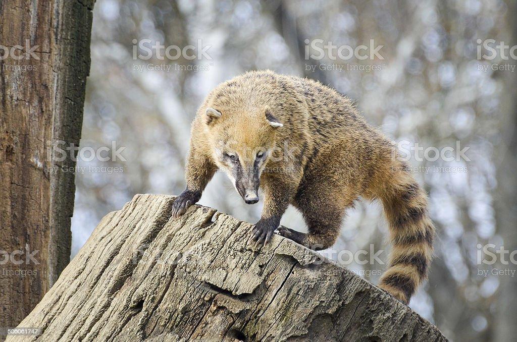 South American coati - Nasua Nasua stock photo