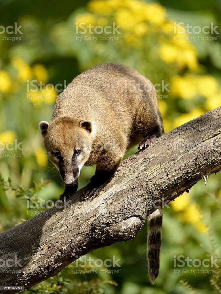 South American Coati on branch stock photo