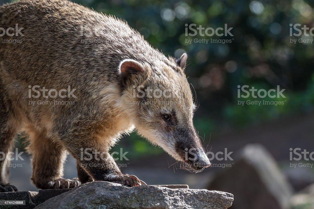 South american coati stock photo