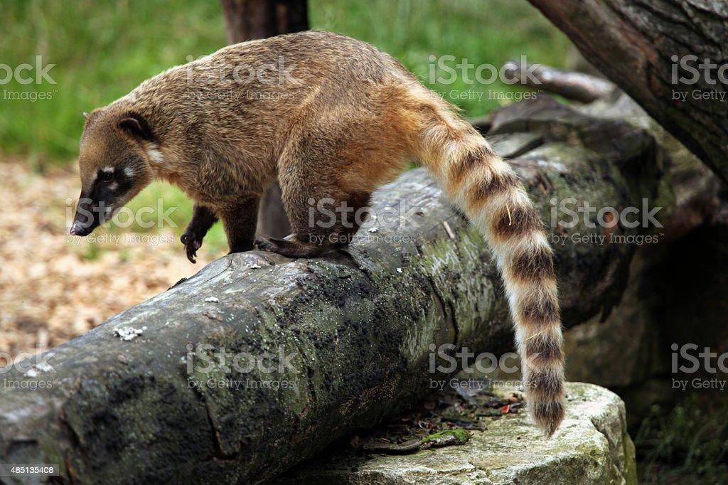 South American coati (Nasua nasua). stock photo