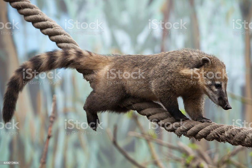 South American coati (Nasua nasua) stock photo