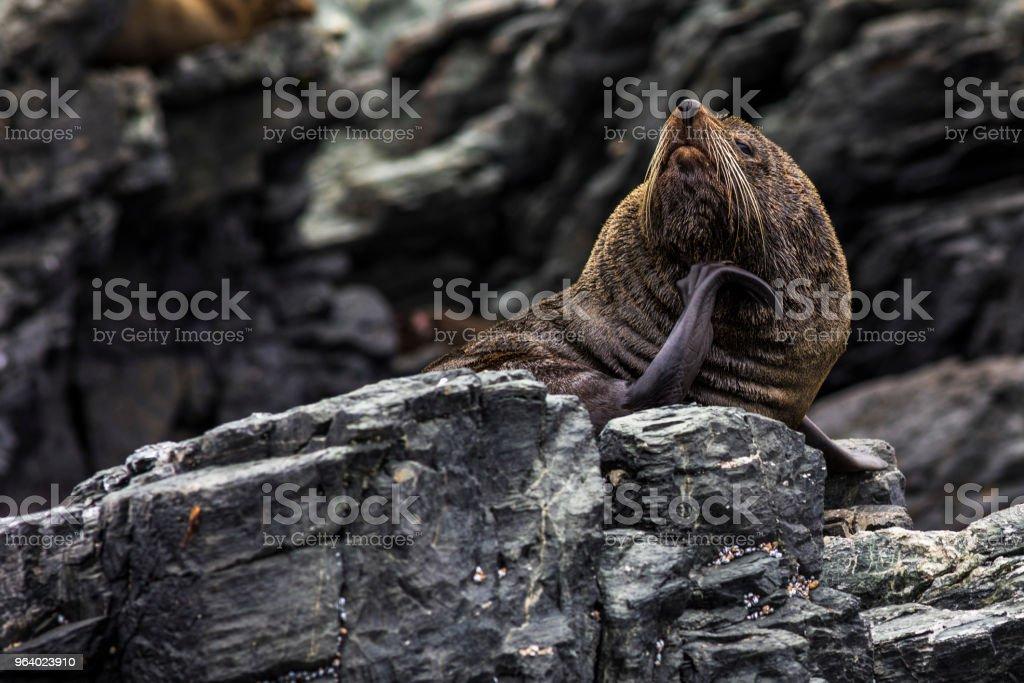 South American fur seal at Atacama desert islands - Royalty-free Animal Stock Photo