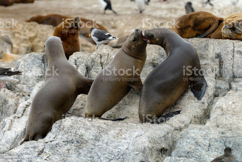 South American fur seal stock photo