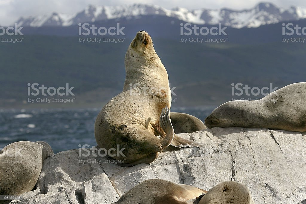 South American fur seal (Arctocephalus australis) royalty-free stock photo