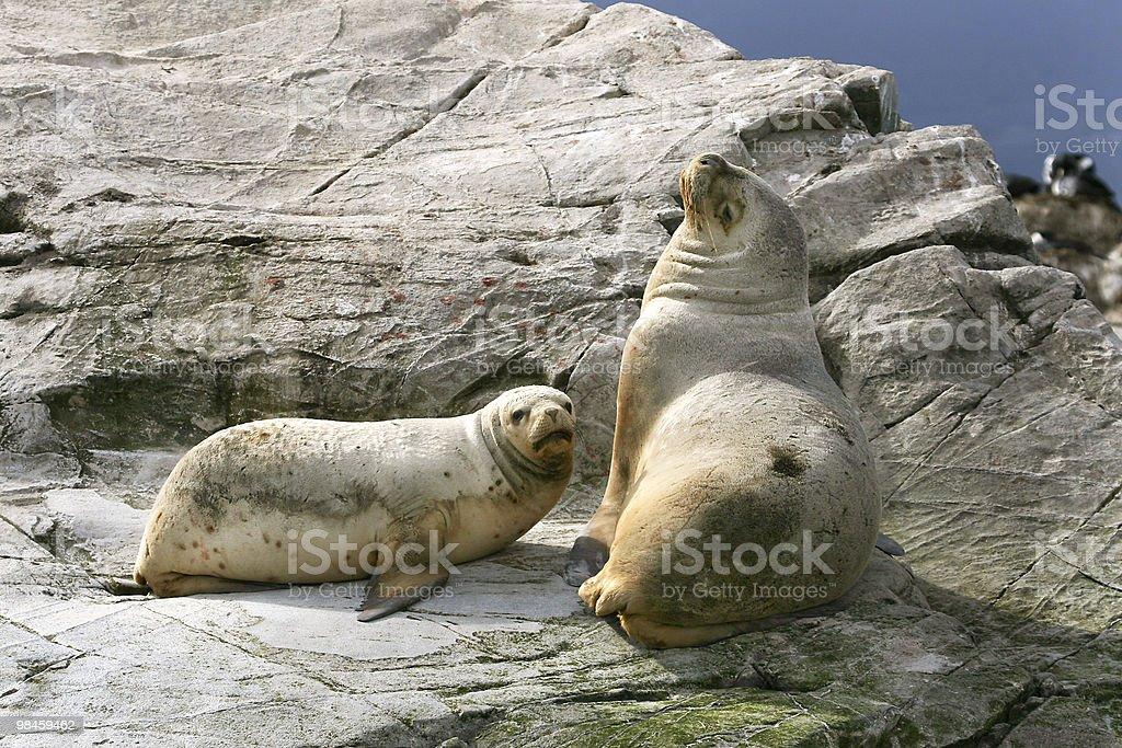 South American fur seal (Arctocephalus australis) royalty-free stock photo