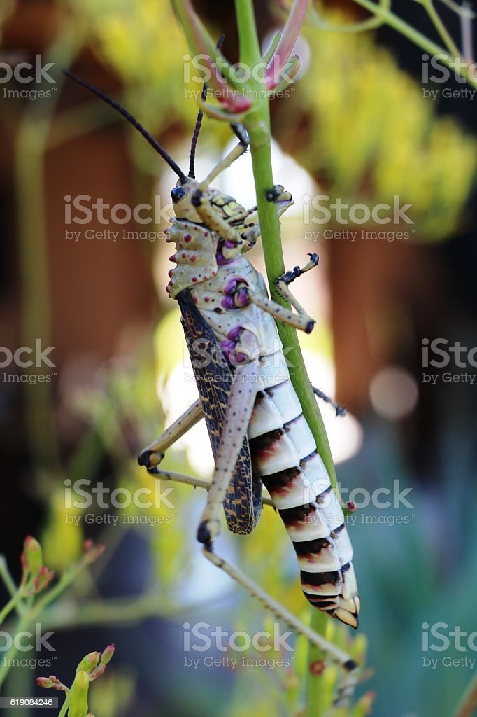 South American giant grasshopper in Namibia, Africa stock photo
