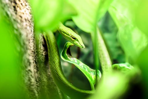 South American green vine snake, Oxybelis fulgidus hiding in green leaves