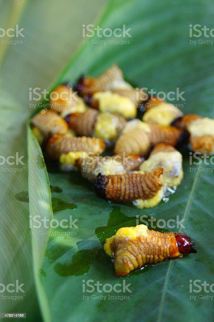 South American palm weevil larva stock photo