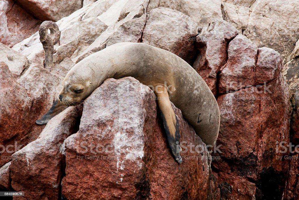 South American Sea Lion - Ballestas Island stock photo
