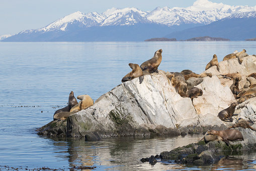 South American sea lion colony on Beagle channel, Argentina wildlife. Seals on nature. Ushuaia