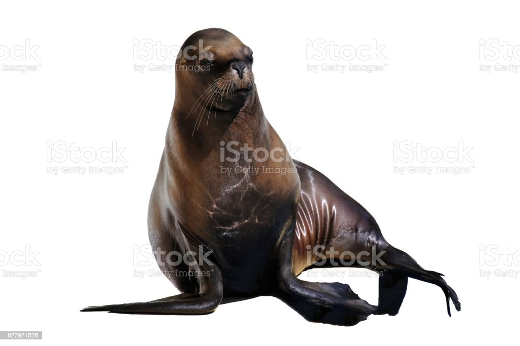 South american sea lion (Otaria flavescens) stock photo