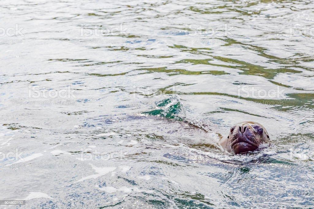 South American Sea Lion stock photo