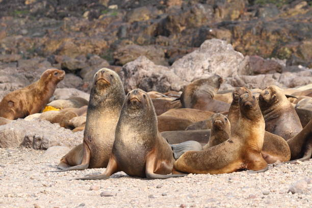South American sea lions: group of young males I Picture taken in Isla Pingüino, near Puerto Deseado, Argentina - Otaria flavescens south american sea lion stock pictures, royalty-free photos & images