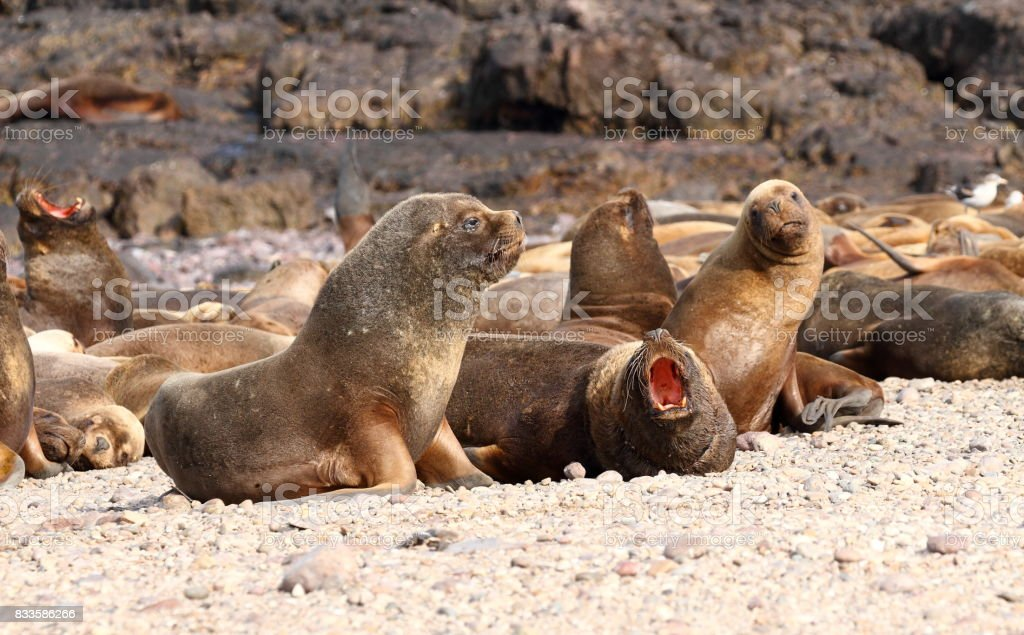 South American sea lions: group of young males II stock photo