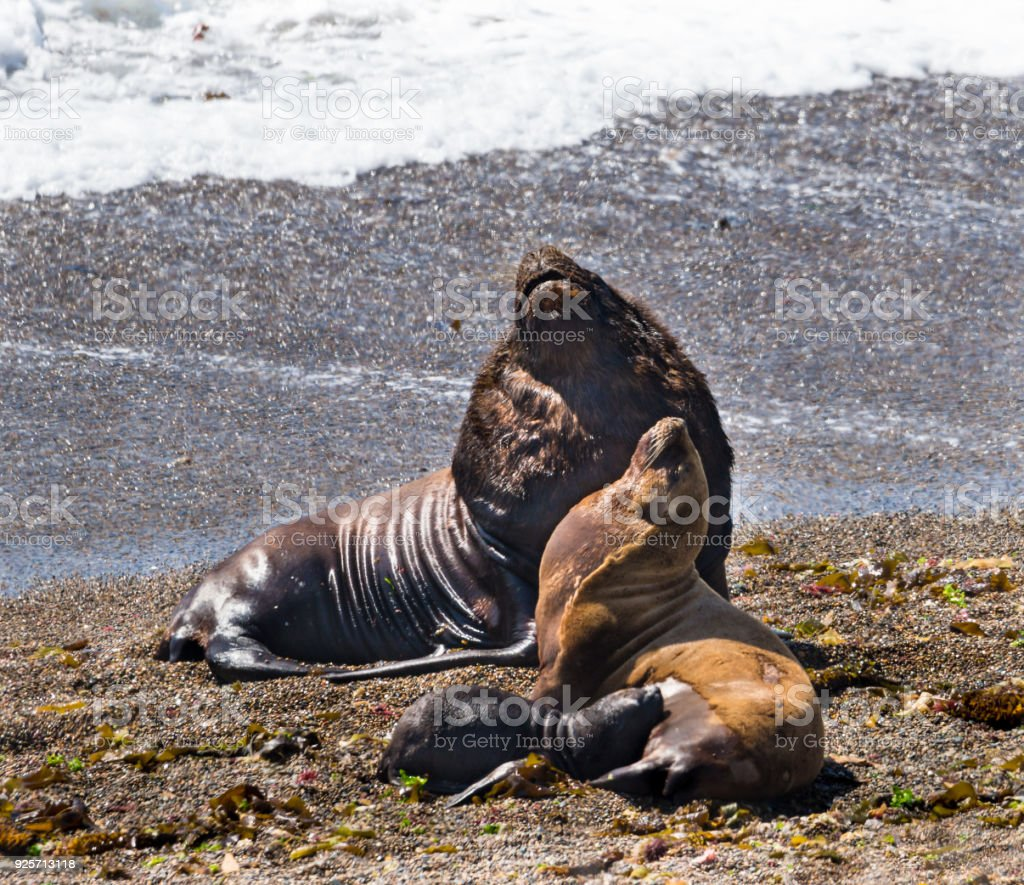 South American Sea Lions Relaxing on Beach stock photo