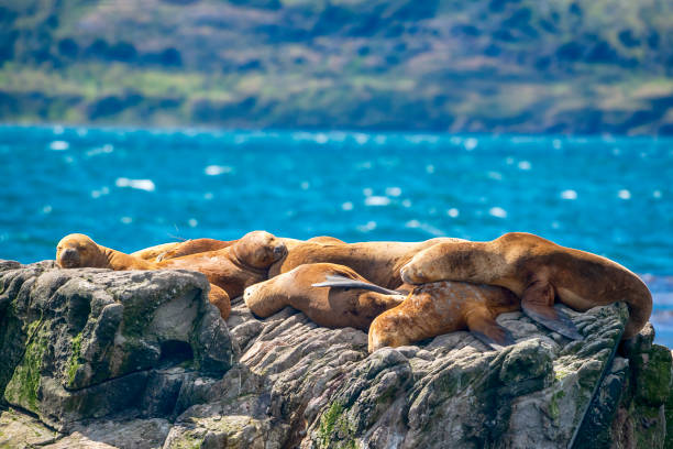 South American sea lions sunbathing in Beagle Channel, Tierra del Fuego, Patagonia South American sea lions  (Otaria flavescens, formerly Otaria byronia) sunbathing on a rock in the Beagle Channel, Tierra del Fuego, Patagonia south american sea lion stock pictures, royalty-free photos & images