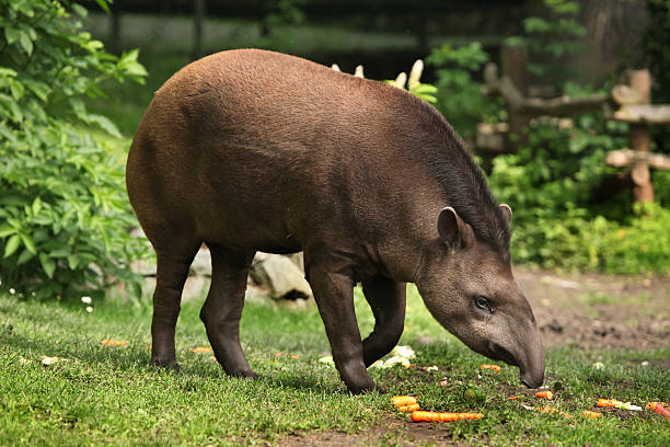 South American tapir (Tapirus terrestris). stock photo