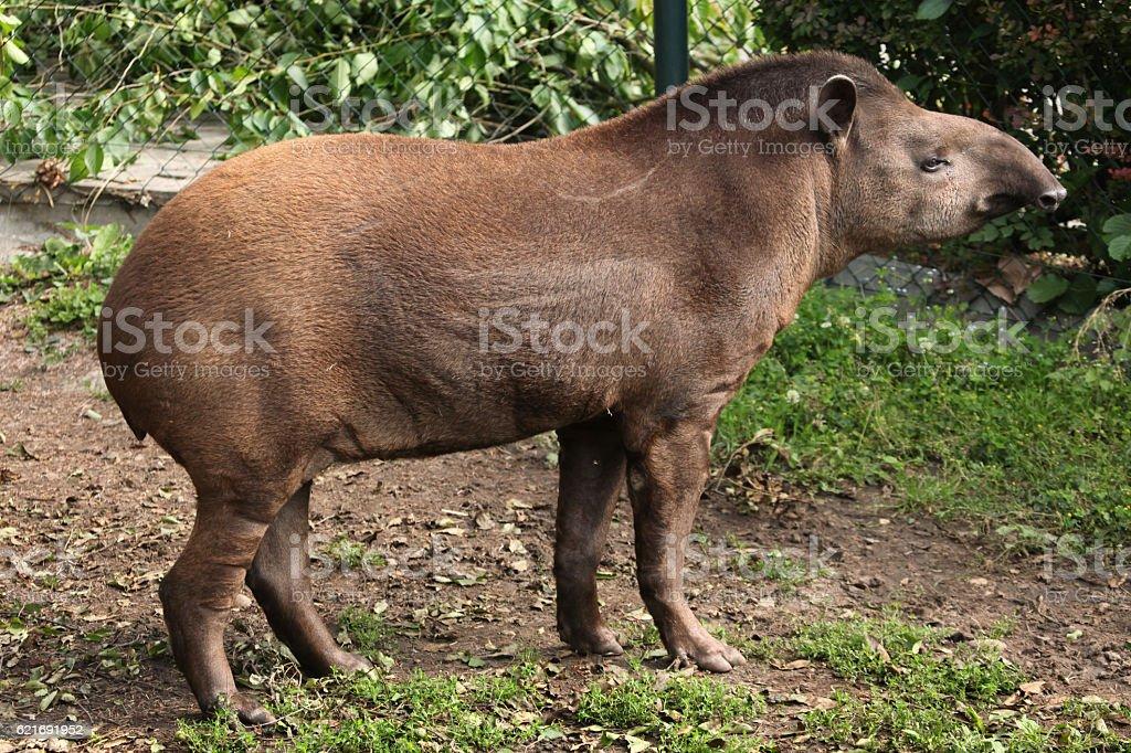 South American tapir (Tapirus terrestris). stock photo