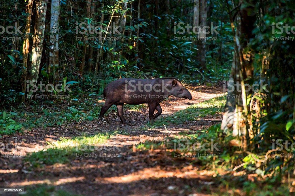 South American tapir (Tapirus terrestris) stock photo
