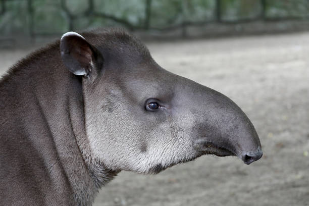 South American tapir stock photo