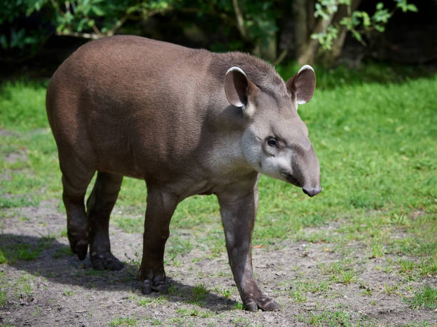 South American tapir (Tapirus terrestris) stock photo