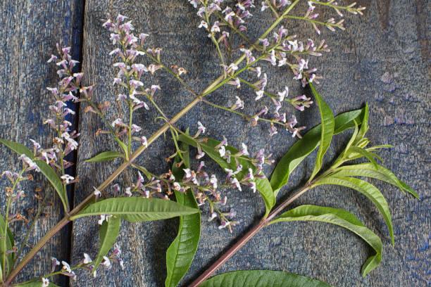South American verbena bush leaf and flower stock photo