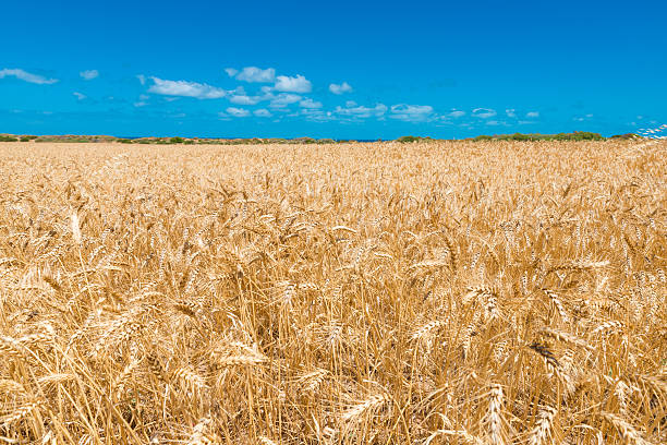 South Australian wheat field in Yorke Peninsula South Australian wheat field in Yorke Peninsula oat crop stock pictures, royalty-free photos & images