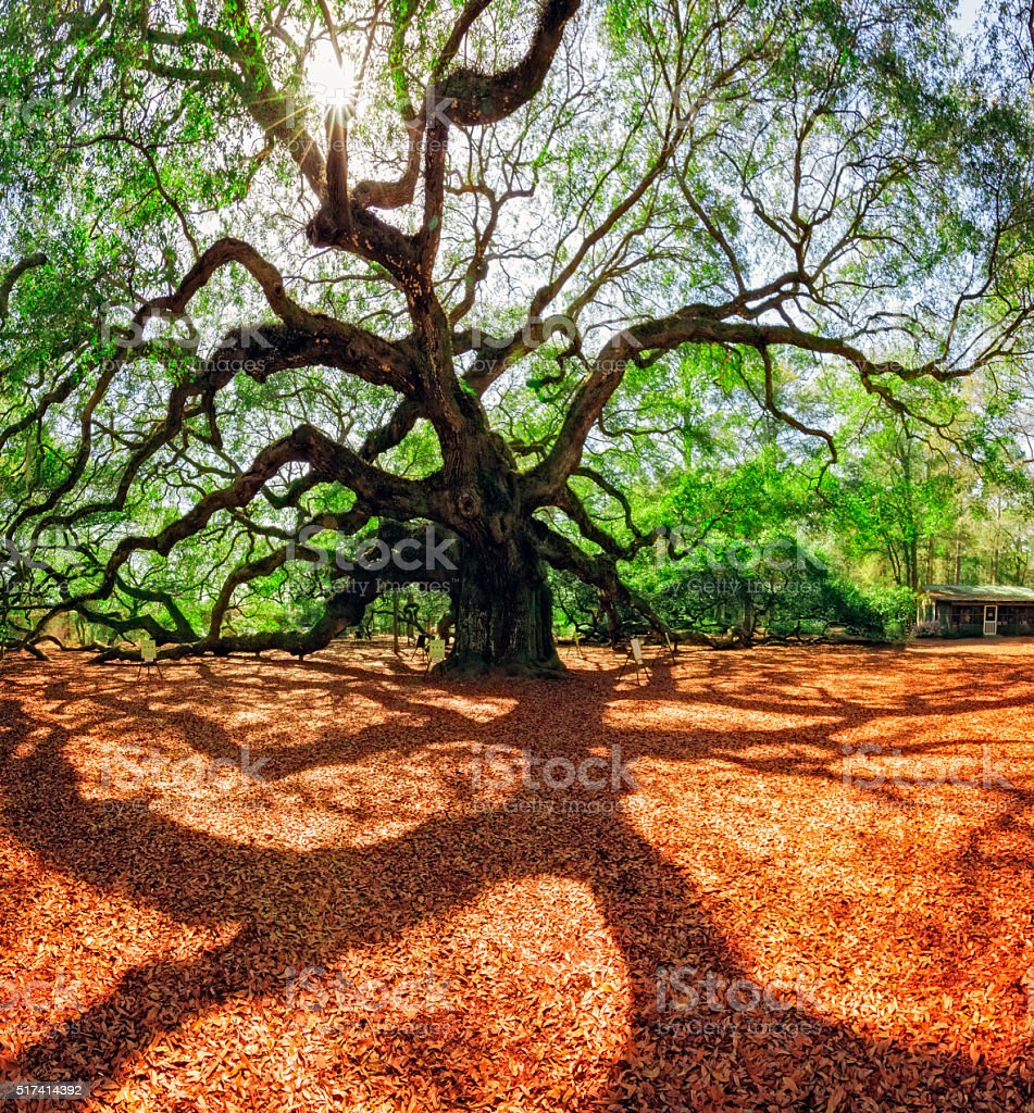 South Carolina Lowcountry Angel Oak Tree Charleston SC Nature Scenic stock photo