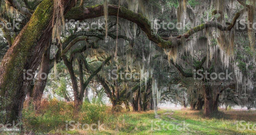 South Carolina Lowcountry Live Oak Tree Tunnel with Spanish Moss stock photo