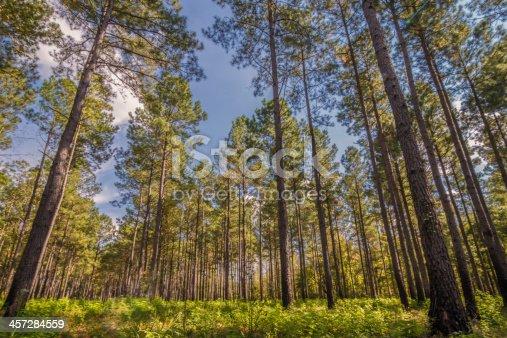 istock South Carolina Pine 457284559