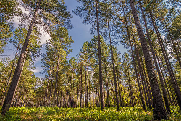 South Carolina Pine A South Carolina Pine Forest located in the lowcountry southern usa stock pictures, royalty-free photos & images
