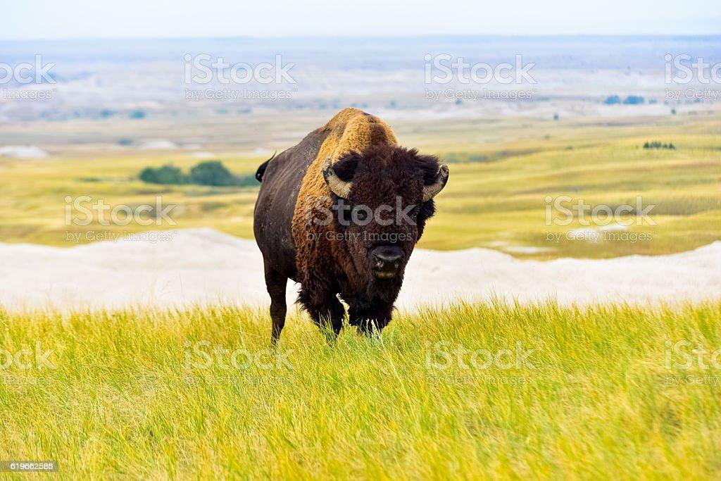South Dakota Buffalo stock photo