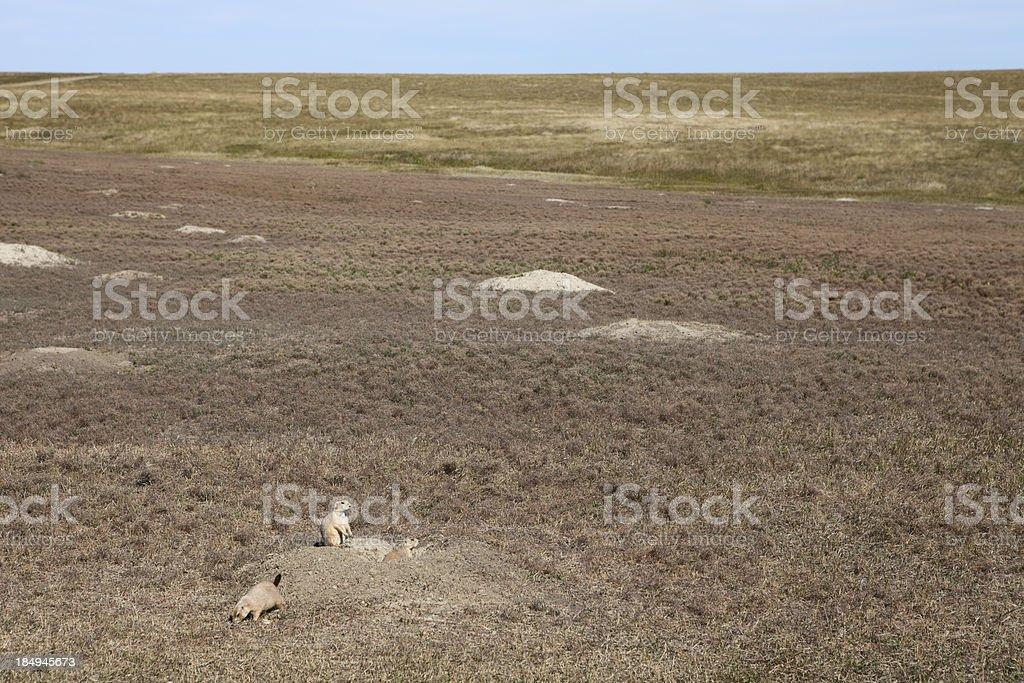 South Dakota Prairie Dogs stock photo