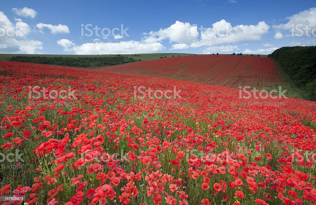 South Downs poppyfield royalty-free stock photo